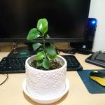 サカキの葉っぱは成長が早い!
