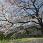 桜のつぼみの様子を見に行こう。