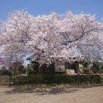 新河岸川-びん沼桜ライド