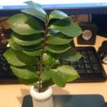 久しぶりの植物ネタ
