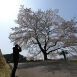 慈光寺の桜、八徳のさくら その2八徳のさくら編