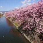 梅でも見に行きますか! その2   河津桜と曽我梅林編